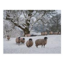Sheep in Snow Postcard