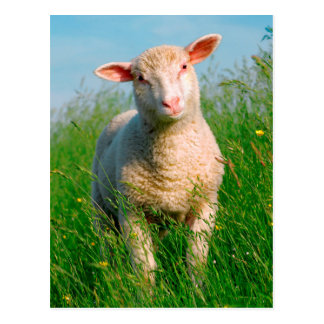 Sheep in the grass postcard
