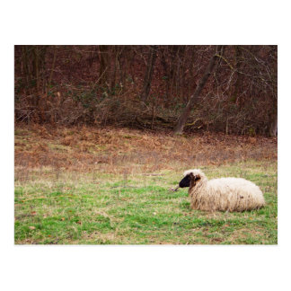 Sheep in the Meadow - Farm Nature Photography Post Cards