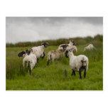 sheep.jpg postcard