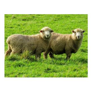 sheep looks postcard