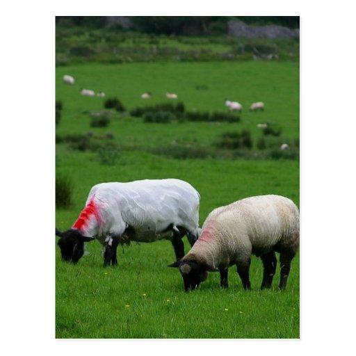 Sheep Near Deerpark Ireland Postcard