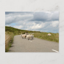 Sheep on the road in Ireland postcard
