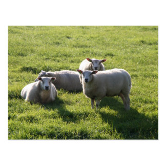 Sheep Post Cards
