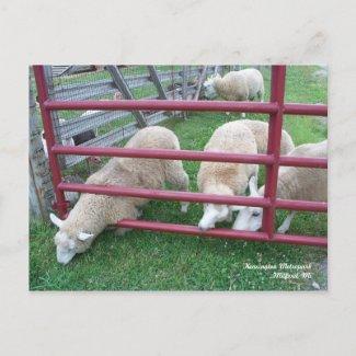 Sheep Postcard postcard