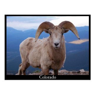 sheep postcard, Colorado Postcard
