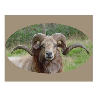 Sheep - Rams Head Postcard