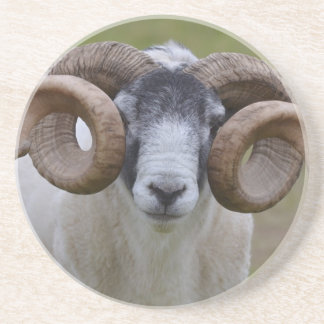 Sheep Sandstone Coaster