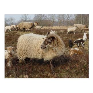 Sheep - Sheep in Heather field Postcard