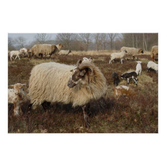 Sheep - Sheep in Heather field Poster