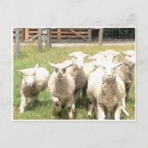 Sheep Stampede Postcard