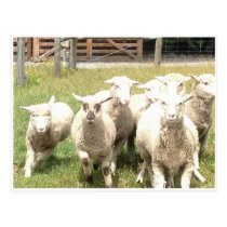 Sheep Stampede Postcard