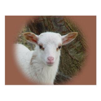 Sheep - White Lamb Postcard