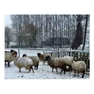 Sheep - Winter season Postcard