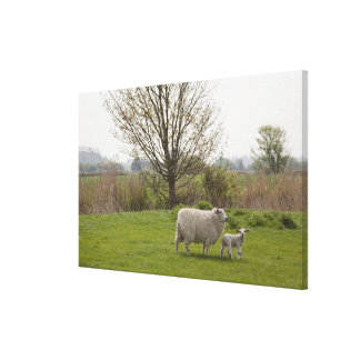 Sheep with lamb in field canvas print