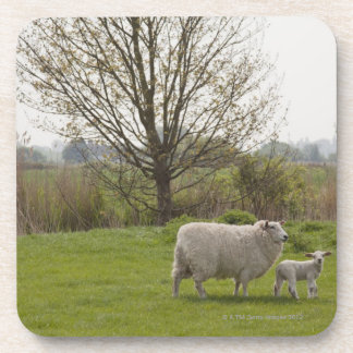 Sheep with lamb in field coaster