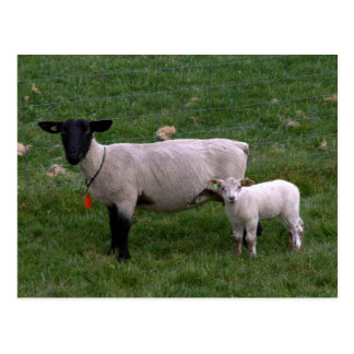 Sheep with lamb post cards
