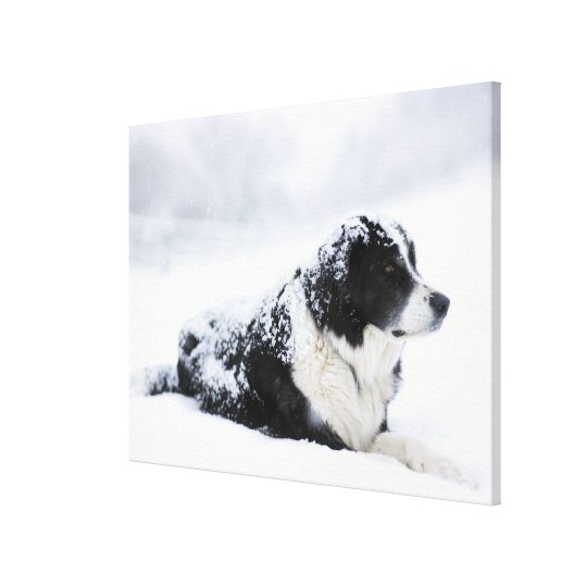 Sheepdog (Akbash/collie mix) lying out during Canvas Print