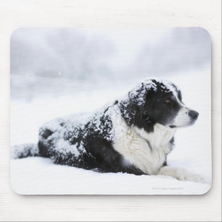 Sheepdog (Akbash/collie mix) lying out during Mouse Pad