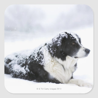 Sheepdog (Akbash/collie mix) lying out during Square Sticker