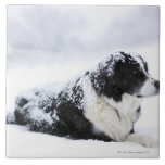 Sheepdog (Akbash/collie mix) lying out during Ceramic Tiles