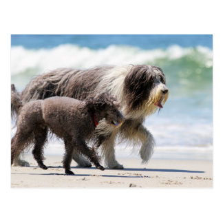 Sheepdog and Poodle - Me and My Pal Postcard
