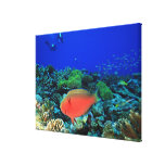 Sheephead Parrotfish Scarus Stretched Canvas Prints