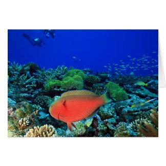 Sheephead Parrotfish Scarus Card