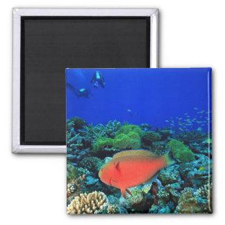 Sheephead Parrotfish Scarus Magnet