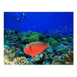 Sheephead Parrotfish Scarus Postcard