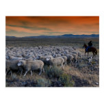 Sheepherders in the American West Postcard