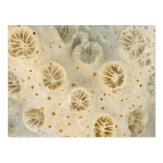 Shell - Conchology - Coral Postcard