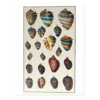 Shells Postcard