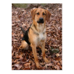 Shelter Dog - German Shepherd/Hound Mix Postcards