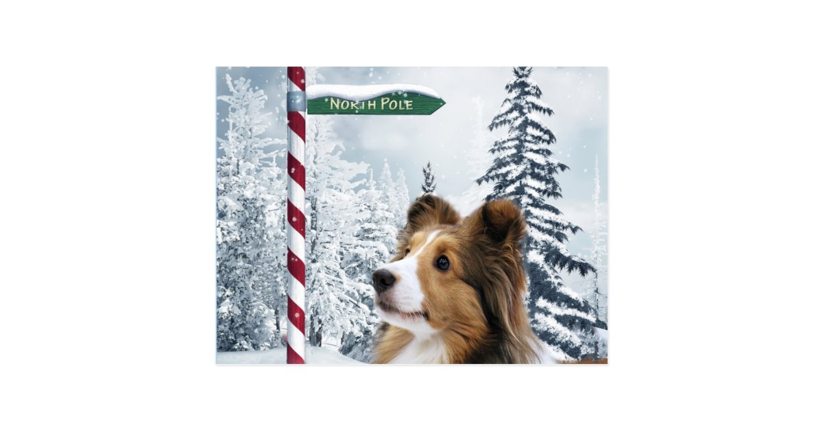 Sheltie Christmas Cards