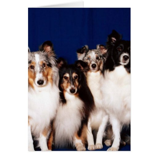 Sheltie Group Card