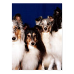 Sheltie Group Post Cards