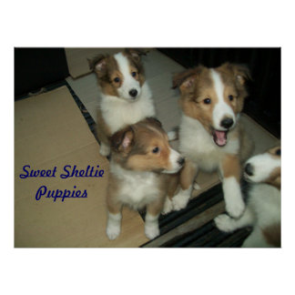 Sheltie Puppies Poster