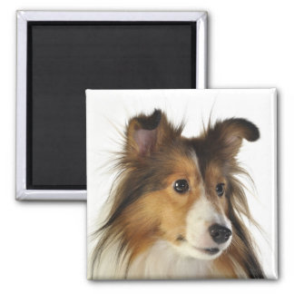 Sheltie Stuff Magnet