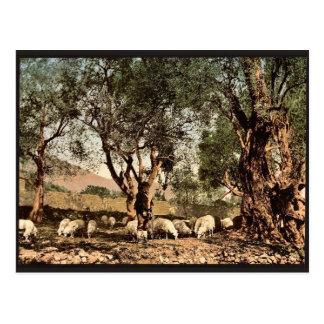Shephard que tiende ovejas en la arboleda verde ol postales