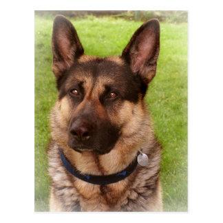 Shepherd Dog Postcard