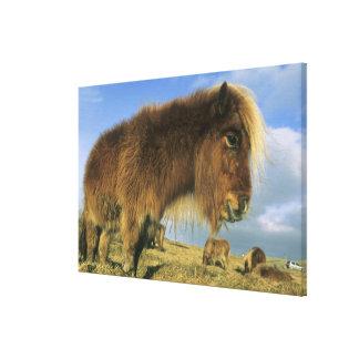 Shetland Pony, mainland Shetland Islands, 2 Canvas Print