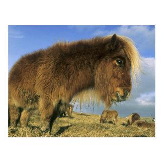Shetland Pony, mainland Shetland Islands, 2 Postcard