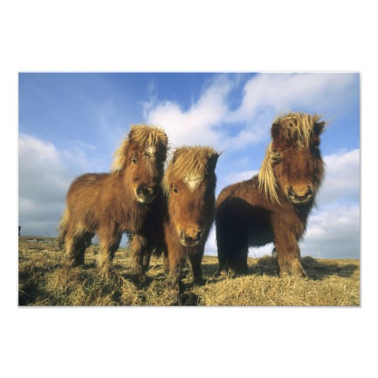 Shetland Pony, mainland Shetland Islands, Photo Print