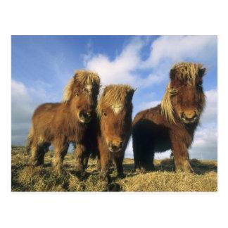 Shetland Pony mainland Shetland Islands Post Card