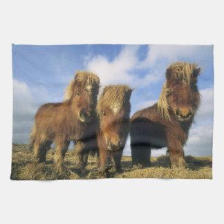 Shetland Pony, mainland Shetland Islands, Towel