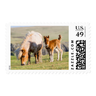 Shetland Pony On Pasture Near High Cliffs, Mare Postage