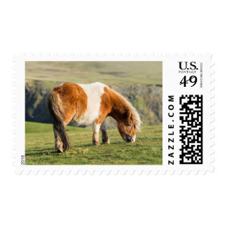 Shetland Pony On Pasture Near High Cliffs Postage
