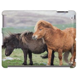 Shetland Pony, Shetland Islands, Scotland 2