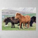 Shetland Pony, Shetland Islands, Scotland 2 Poster